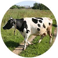 О том, стоит ли заводить у себя на дачном участке крупных животных типа коров и лошадей