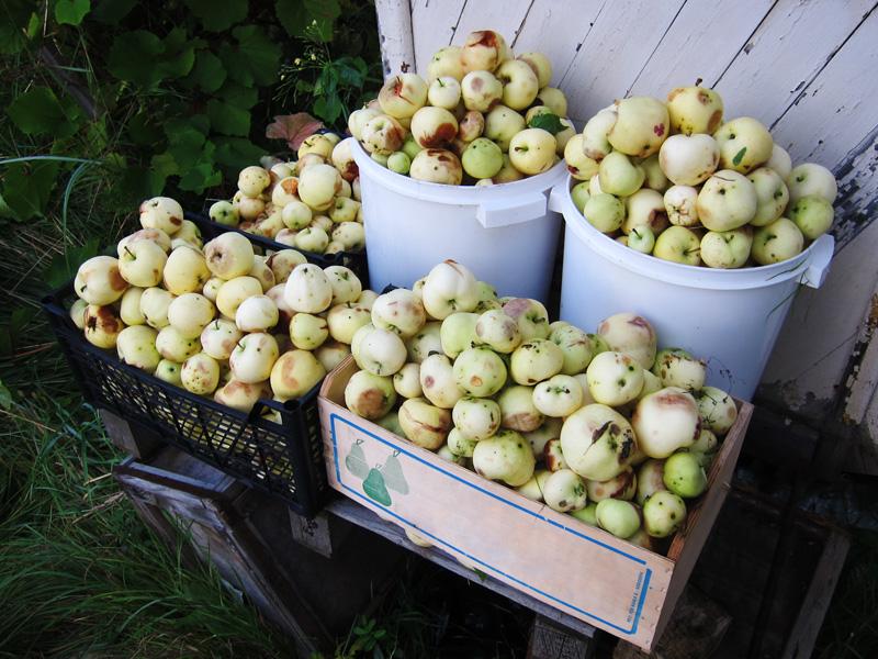 Яблони на нашей даче плодоносят через год, зато дают хороший урожай