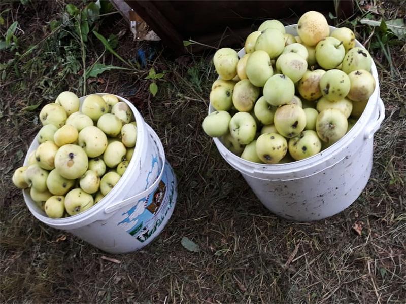 Фотография яблок сорта белый налив, которые растут на нашей даче в Лотошинском районе Московской области.            Такой богатый урожай нам удается собирать один раз в два года, если еще погода позволяет.
