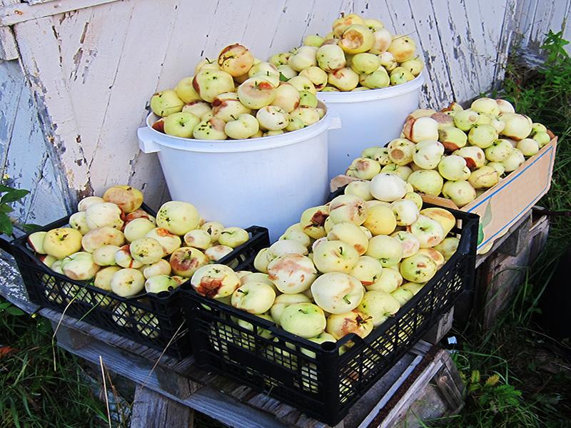 Собрать и переработать все яблоки мы не в силах. Если год урожайный, их получается так много, что потом трудно увезти все собранное в город.