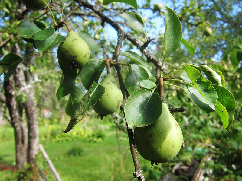 Много таких груш не съешь, поэтому часть идет на приготовление варенья и вина