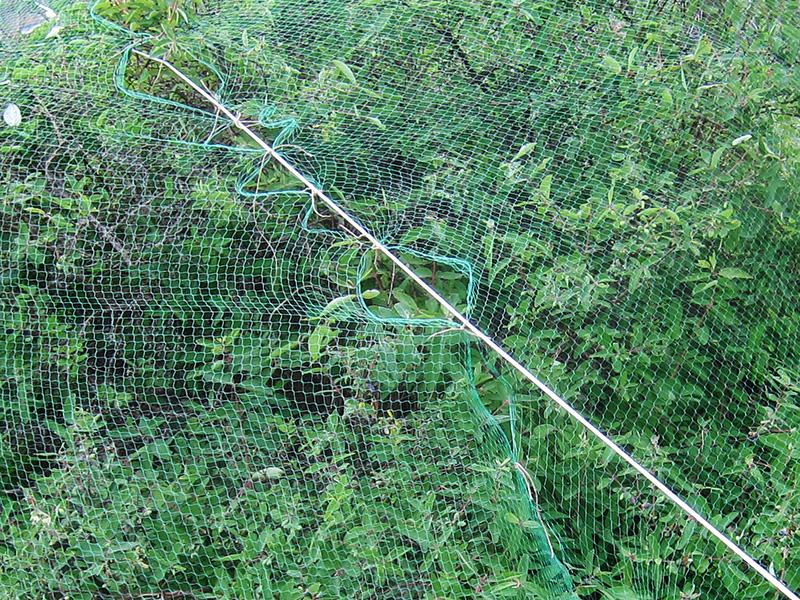 Фотография связанных сеток, укрывающих куст жимолости