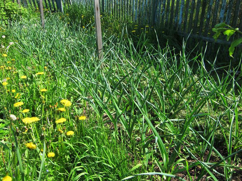 Удалять сорняки следует не только на самих грядках, но и рядом на дорожках