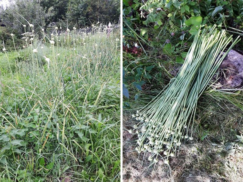 Если чеснок запустить, его стрелки поднимутся и начнут расти семена, отбирая на себя все силы.