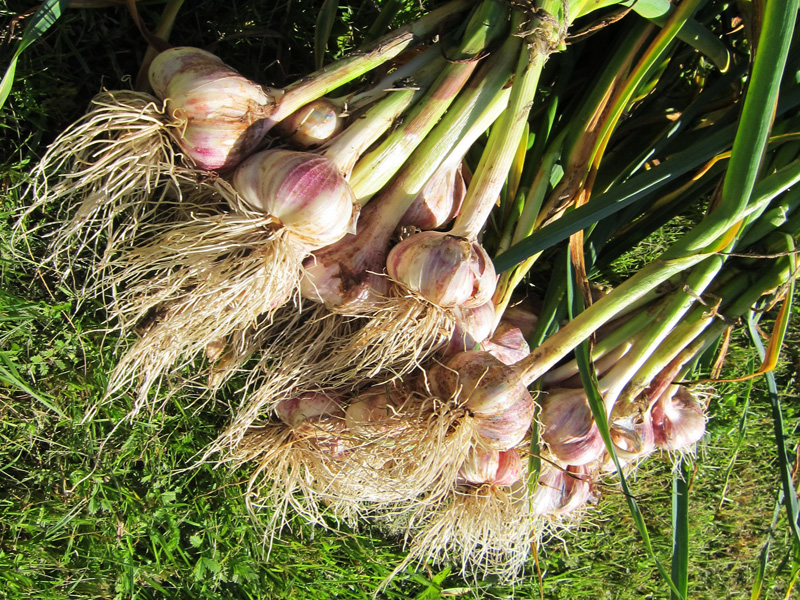 Первый урожай был в семь с половиной раз больше, чем мы посадили чеснока на дачном участке