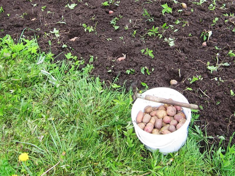 Как убирать, так и сажать картофель необходимо своевременно - пораньше, а не попозже