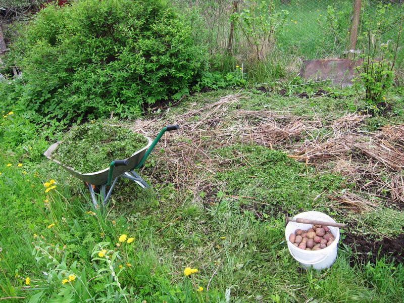 Для защиты от сорняков на картофельных грядках я использовал мульчирование почвы
