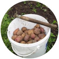 Первый опыт в выращивании клубней картофеля пока оказался не удачным. Будем ли экспериментировать еще - не известно.