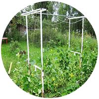 Огурцы требуют обязательной подвязки своих плетей в вертикальном положении