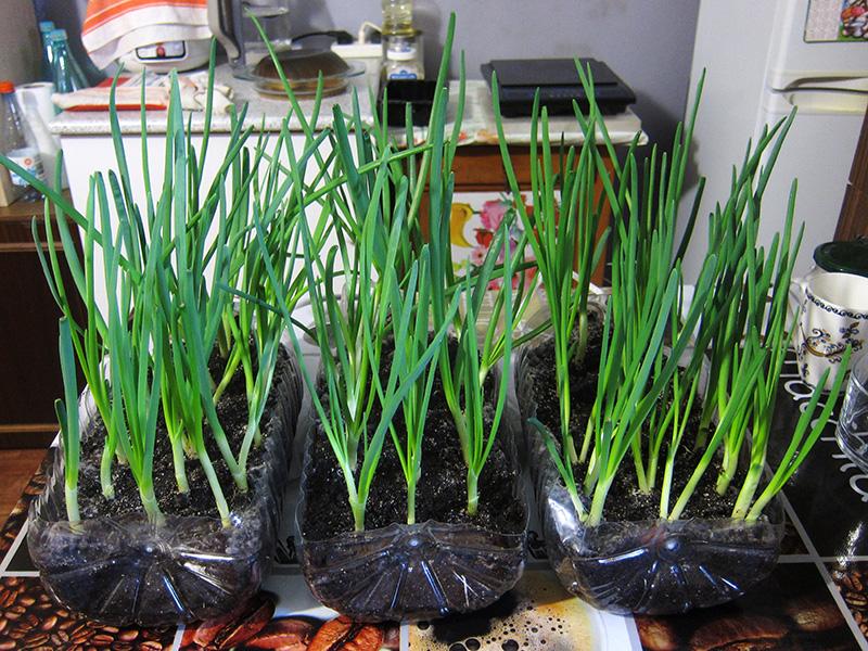 Весной 2021-го года мы дважды собирали урожай лука на подоконнике