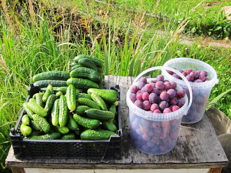 Фотография, сделанная в конце лета, когда собирается урожай