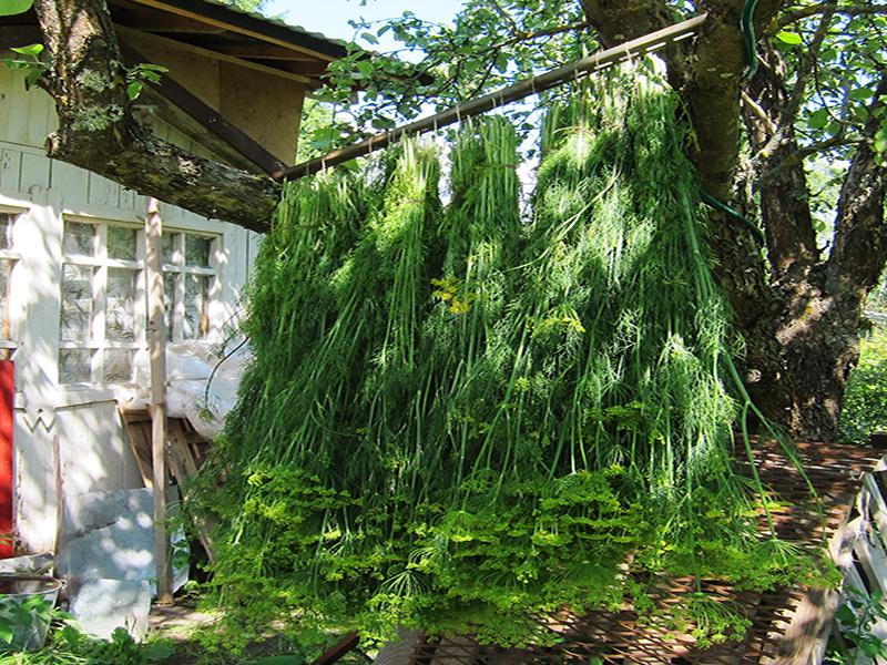 Некоторая часть связок укропа остались на даче, чтобы зонтики высохли - их потом можно использовать для консервирования           огурцов с помидорами. Но большую долу пришлось раздать своим друзьям и соседям - слишком богатым оказался урожай.