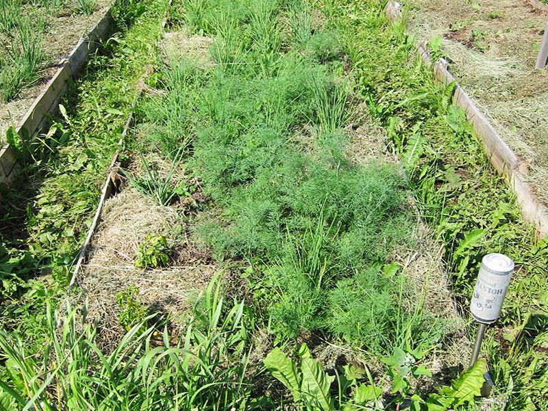 В этот раз мы посеяли укроп слишком густо и потом не знали, что делать с урожаем в таких количествах.            А в следующем сезоне ничего не выросло из собранных семян - видимо, надо покупать каждый раз новые.