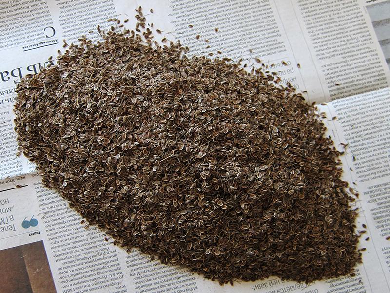 Эти семена укропа были собраны по всем правилам жанра, но почему-то вырастить из них зелень в следующем сезоне не удалось.