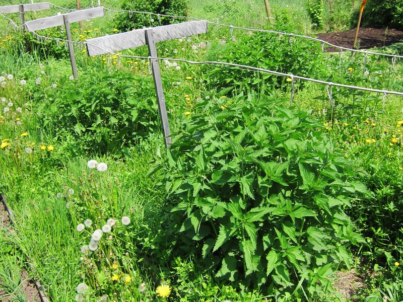 Если сорняки не удалять с участка, в скором времени они завлядеют всей территорией