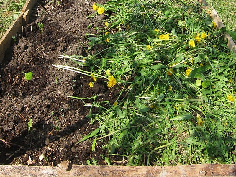 После покупки газонокосилки мы теперь всю скошенную траву отправляем на грядки