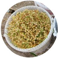 В этом году мы собрали белой смородины столько же, сколько и белой