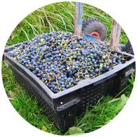 Виноград мы обычно используем для изготовления домашнего вина