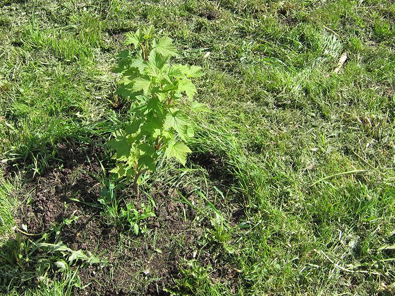 Так начинали расти на нашей даче кусты белой смородины