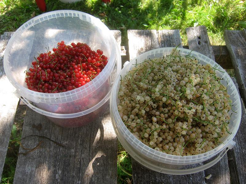 Пока только черной смородины мы собрали больше, чем белой. а красная уже сильно отстает.