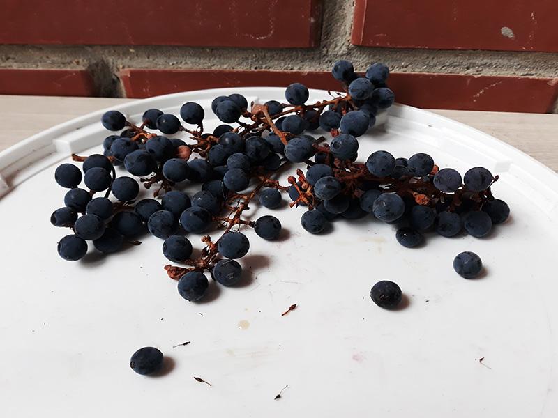Для вина мы собираем даже слегка подсохшие грозди винограда