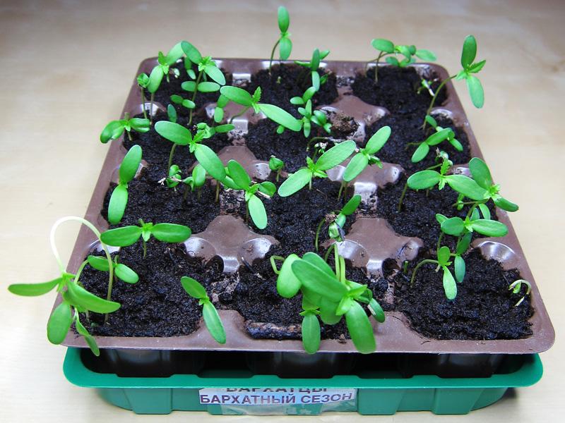 Фотография рассады бархатцев, выращиваемых в торфяных таблетках