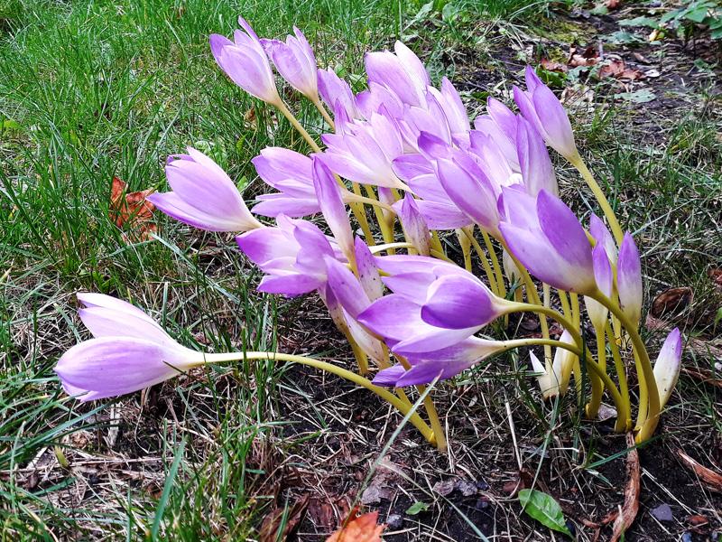 Безвременник - фотография цветов осенью