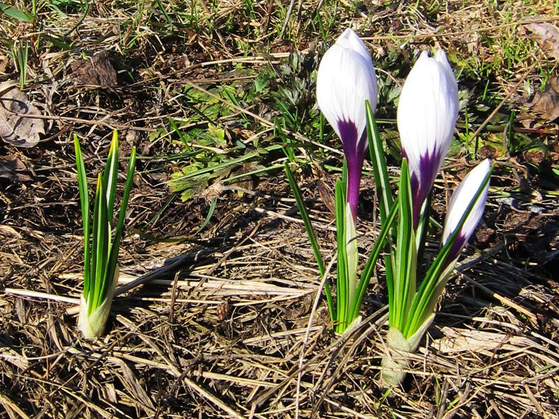 Эти первоцветы можно увидеть на даче только в апреле