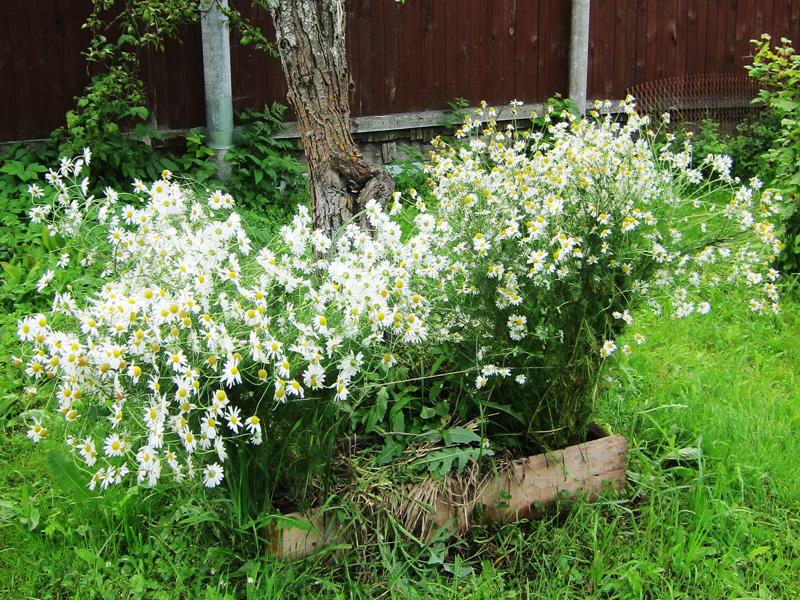 Фотография Ромашек, цветущих под старой грушей