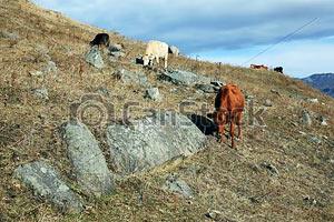 Сегодня купили мое фото коров в Фотобанке «CanStockPhoto»