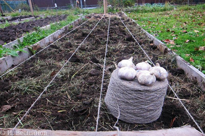 Пять головок чеснока подготовлены к посадке на даче под зиму