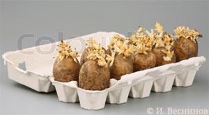 Моя фотография проросшей семенной картошки в Фотобанке «ColourBox»