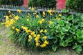 На соседском участке вырос большой и красивый куст лилейника