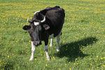 Корова в Шаховском районе Московской области