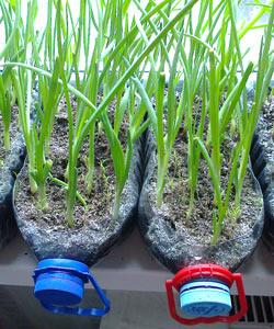 Выращивание лука на подоконнике в городской квартире