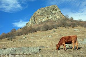 Эта моя фотография коровы на горном склоне в КЧР