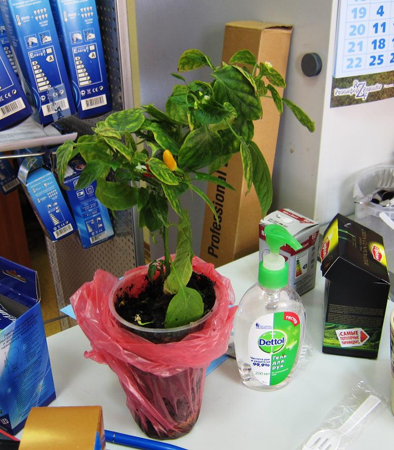 Этот перец будет теперь жить в офисе