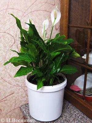 Цветок Спатифиллюм в городской квартире