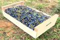 Фотография фанерного ящика с кисточками синего винограда сорта Изабелла