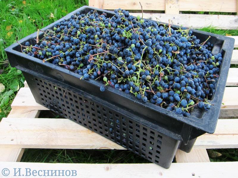 Урожай винограда сложен в большой пластиковый ящик - так это было второго октября 2016 года в Лотошинском районе Московской области