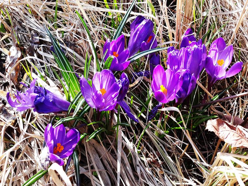 Крокусы относятся к первоцветам. На нашем дачном участке уже произрастает и по весне цветет несколько разных сортов,               отличающихся по цвету и размеру цветочков. Все они очень милые и симпатичные, все ужасно нравятся, кому ни покажи.