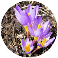 У нас на дачном участке сразу две длинные цветочные клумбы, на которых уже посажено             множество растений - циннии и многолетние астры, безвременник и пионы, лилейник и             несколько видов хосты. А по весне выползают первоцветы - подснежники и крокусы, нарциссы и тюльпаны.