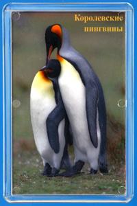 Королевские пингвины.